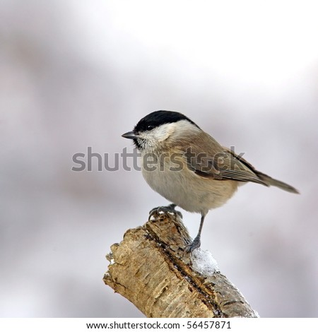 March tit on a snowy branch