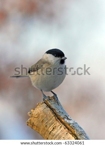 March tit on a snowy branch (face to face)