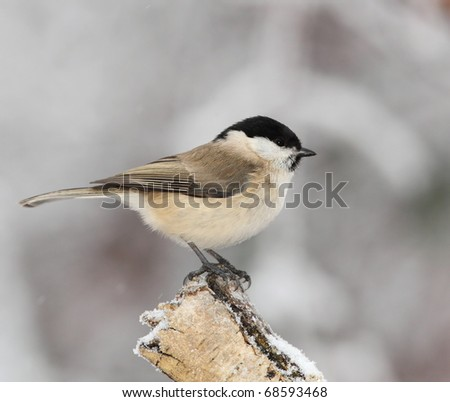 March tit on a snowy  stump