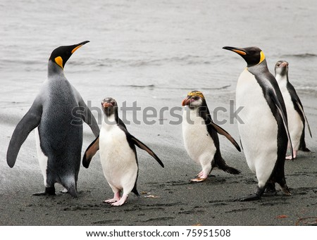 Marconi penguins walk confidently through two King penguins. Macquarie Island.