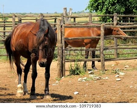 Maremma horses