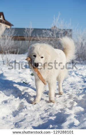 Maremma or Abruzzese patrol dog with a stick in his mouth on the snow in the garden, on a sunny day, winter
