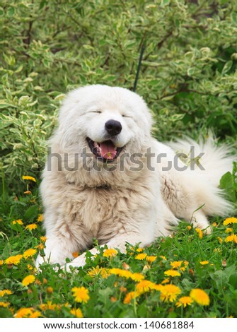 Maremma Or Abruzzese Patrol Smiling Dog Portrait On The Grass Among Dandelions In The Garden