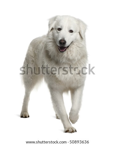 Maremma Sheepdog, 2 Years Old, standing in front of white background