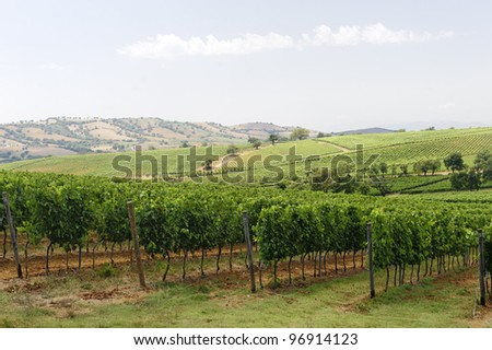 Maremma (Tuscany, Italy), country landscape with vineyards at summer