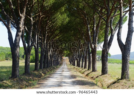 Maremma (Tuscany, Italy), country road with two rows of pines