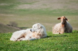 Maremma white patrol sheepdog land a sheep lying on green measow's grass