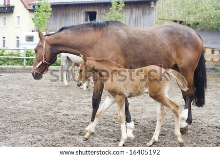 mares with foals standing in the paddock - stock photo