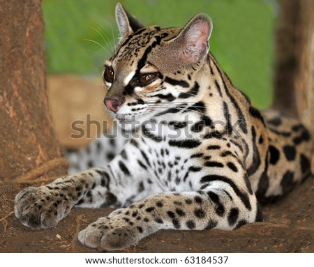 Margay cat or Caucel lying on ground, feline reserve, nicaragua, central america
