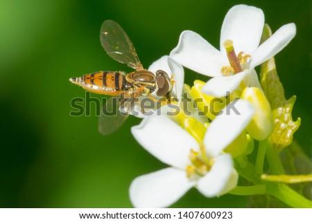 Margined Calligrapher collecting nectar from a Garlic Mustard flower. Ashbridges Bay Park, Toronto, Ontario, Canada. #1407600923