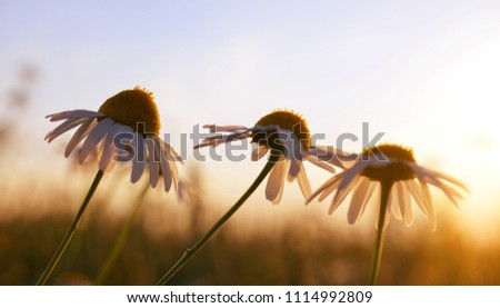 Marguerite daisies on meadow at sunset. Spring season.