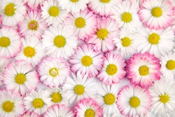 Marguerite daisy flowers background. White and pink flowers, top view