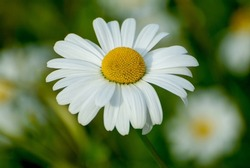 marguerite daisy wild plant with large white petal flowers and yellow center