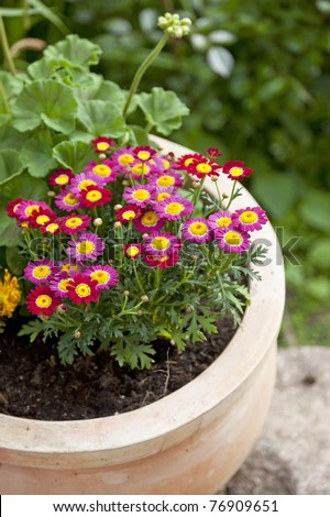 marguerite flowers  in a terracotta flowerpot - stock photo