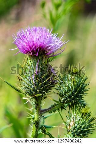 Marie Thistle flower in summer #1297400242