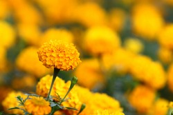 Marigold flower field backdrop In an overcast atmosphere