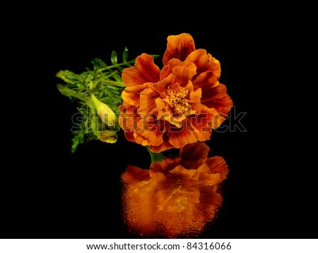 marigold flower on a black background with water drops