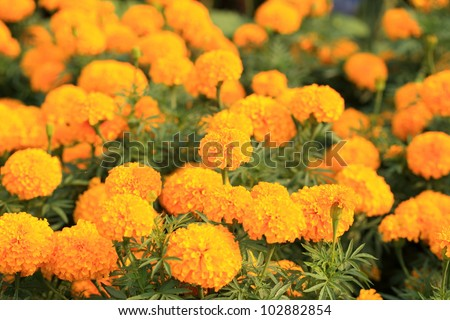 Marigold flower with soft sun light, Ayuthaya Thailand