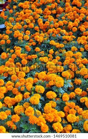 Marigold flowers blooming in garden blooming in garden #1469510081