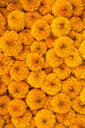 Marigold flowers close-up colorful background