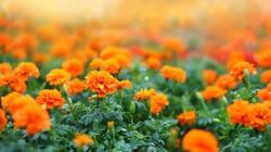 Marigold flowers in the meadow.