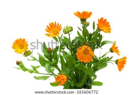Marigold flowers isolated on white background horizontal photo marigold flowers isolated on white background horizontal photo mightylinksfo