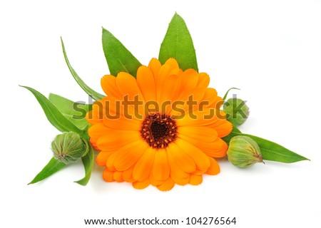 Marigold flowers on the white background - stock photo