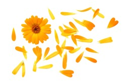 marigold flowers with petals isolated on white background. calendula flower. top view