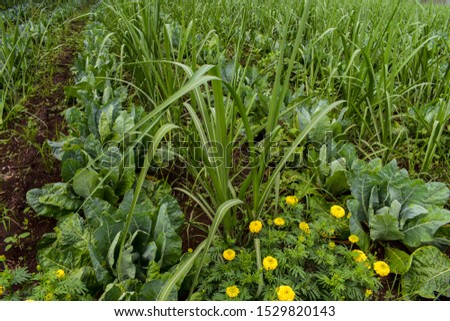 Marigold is used to attract insects attacking the main crop as trap crop in the borders. New innovation in agriculture. intercropping. Useful Crop rotation. sugarcane, marigold and cauliflower crops  #1529820143