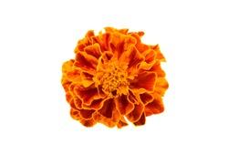 Marigold isolated on white background