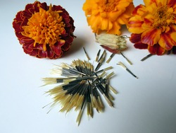 Marigold (lat. Tagetes) flowers and seeds on a white background