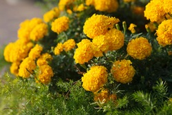 Marigold Moonlight or discovery orange Tagetes background, selective focus