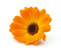 Marigold on a white background
