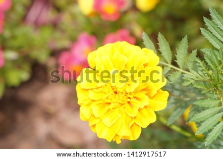 Marigold (scientific name: Tagetes erecta L.) is popular for planting cut flowers. Marigolds in the group Is a large flowering species Trading varieties include soverign varieties, new varieties
