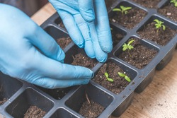 marigold seedlings, marigold cultivation, the process of marigold dipping and growing from seeds, selective focusing, tonoronic image, the process of marigold dipping and growing from seeds