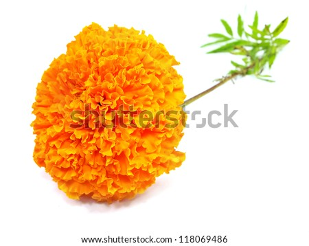marigold (Tagetes) an a white background