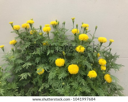 Marigolds are named after the locals. Marigolds in the African or American marigold varieties. The varieties used in Thailand are Sperrin There are also new species imported. Jamaican breeds and other #1041997684