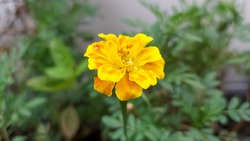 Marigolds blooming in the morning.