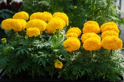Marigolds Gold Color (Tagetes erecta, Mexican marigold, Aztec marigold, African marigold), marigold pot plant