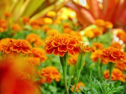 Marigolds in garden. (Tagetes erecta, Mexican marigold, Aztec marigold, African marigold)