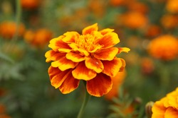 Marigolds in the flowerbed bloomed beautifully. Bright flowers on a green background