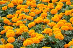 Marigolds shades of yellow and orange, Floral background (Tagetes erecta, Mexican marigold, Aztec marigold, African marigold).