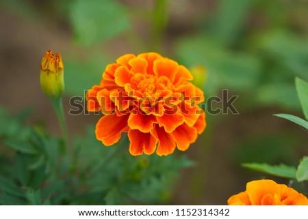 Marigolds (Tagetes erecta, Mexican marigold, Aztec marigold, African marigold) #1152314342