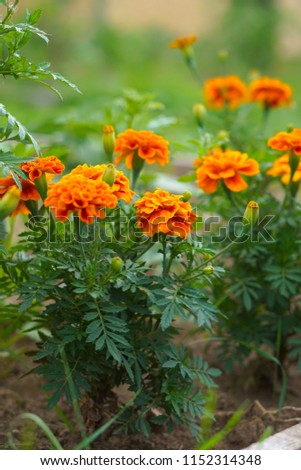 Marigolds (Tagetes erecta, Mexican marigold, Aztec marigold, African marigold) #1152314348