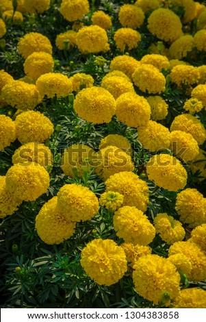 Marigolds (Tagetes erecta, Mexican marigold, Aztec marigold, African marigold) #1304383858