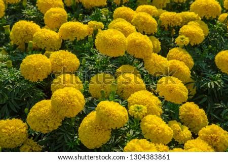 Marigolds (Tagetes erecta, Mexican marigold, Aztec marigold, African marigold) #1304383861