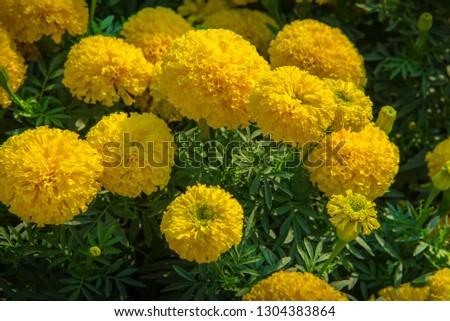 Marigolds (Tagetes erecta, Mexican marigold, Aztec marigold, African marigold) #1304383864