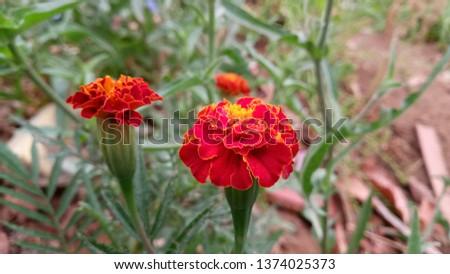 Marigolds (Tagetes erecta, Mexican marigold, Aztec marigold, African marigold)   #1374025373