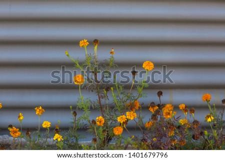 Marigolds (Tagetes erecta, Mexican marigold, Aztec marigold, African marigold) #1401679796