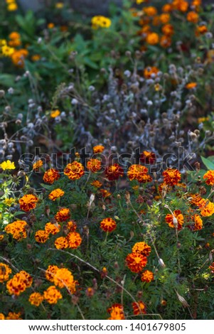 Marigolds (Tagetes erecta, Mexican marigold, Aztec marigold, African marigold) #1401679805